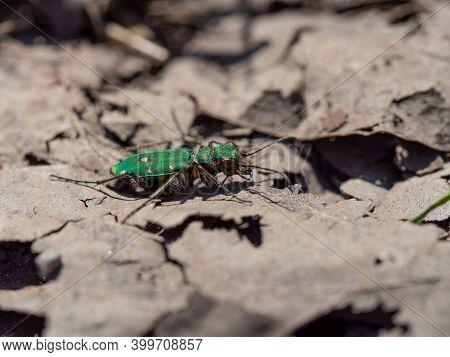 Green Tiger Beetle (cicindela Campestris) On Dry Leaves Background