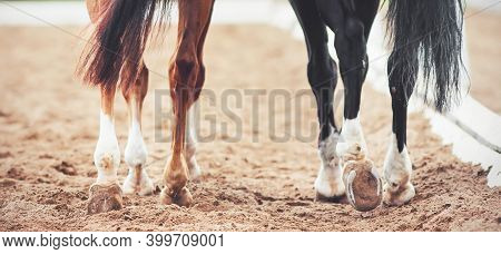 The Hooves Of Two Horses - Sorrel And Black, Walking On A Sandy Outdoor Arena At A Dressage Competit