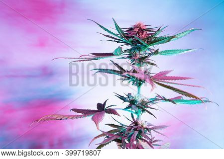 Marijuana Medicinal Plant In Light Pastel Colors. A Hemp Bush With A Creamy Pink Purple Light And A