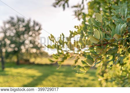 Close-up Of Carob Tree In A Field On The Island Of Mallorca At Sunset. Unfocused Background. Baleari