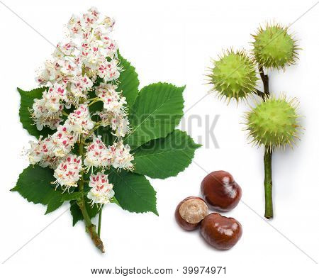 Horse-chestnut (Aesculus hippocastanum, Conker tree) flowers, leaf and seeds on a white background poster