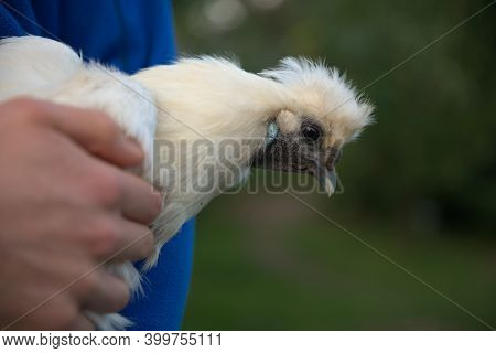 Close Up Of White Silkie Chickens Face Whilst She Is Carried By A Person In A Blue Jumper. Blue Beak