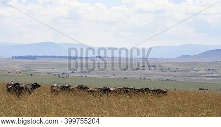 A Herd Of African Buffalo In The Tall Grass Of The Savanna Landscape. Panorama Of The South African