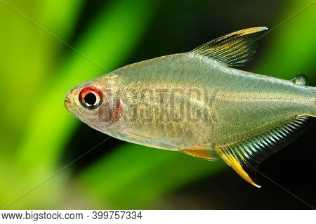Close-up Aquarium Fish The Lemon Tetra Hyphessobrycon Pulchripinnis. Freshwater Tank Exotic Fish Tra