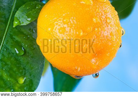 Macro View Orange Citrus Mandarin Fruit Branch With Water Drops On Green Leaves.