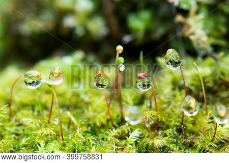 Macro View Moss Background With Water Drops. Shallow Depth Of Field.