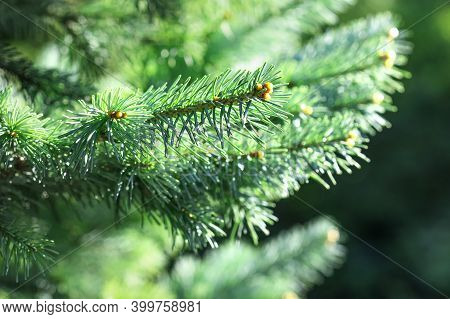 Xmas Spruce Tree Branches Forest Nature Background. Christmas Festive Holiday Symbol Evergreen Tree