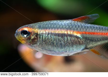 Macro View Aquarium Fish Glowlight Tetra Or Hemigrammus Erythrozonus. Bright Pattern Texture Close-u