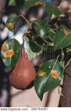 Branches Leaves And Pear Fruits Affected By Orange Rusty Spots And Horn-shaped Growths With Spores O