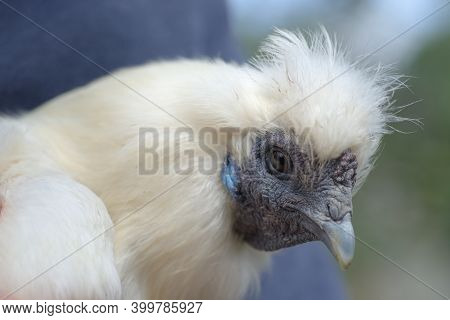 4 - Super Close Up Macro Portrait Of The Face Of A White Silkie Chicken. Detail Of Hard Wrinkly Skin