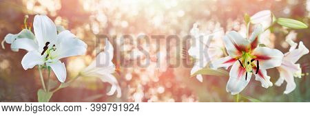 Unfocused Widescreen Background With Blooming Lilies. Art Design, Banner