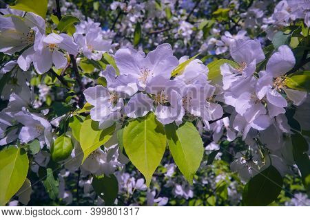A Branch Of A Wild Apple Tree With White Flowers On A Blurred Background Close-up.