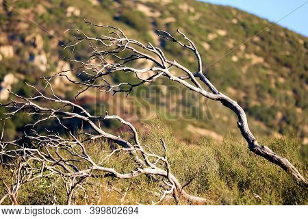 Windswept Parched Branches Caused From A Prolonged Drought On A Chaparral Woodland Taken At Arid Bad