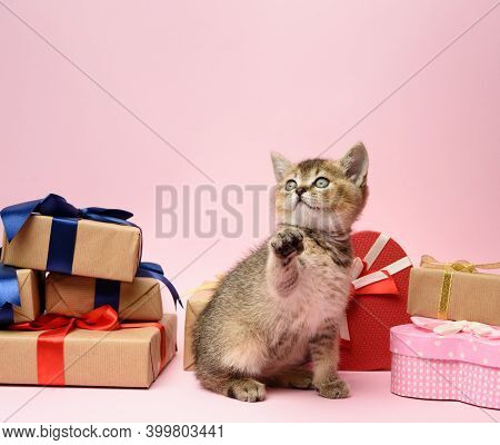 Cute Kitten Scottish Golden Chinchilla Straight Breed Sits On A Pink Background And Boxes With Gifts
