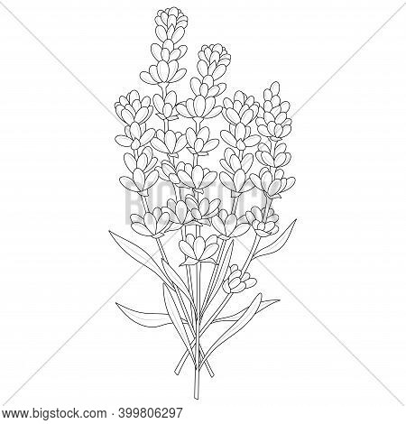 Lavender.coloring Book Antistress For Children And Adults. Zen-tangle Style.black And White Drawing