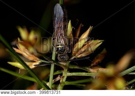 Adult Scoliid Wasp In A Flower