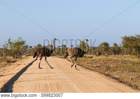 Pair Of Common Ostrich (struthio Camelus) Female Hens Crossing A Dirt Road In Kruger National Park,