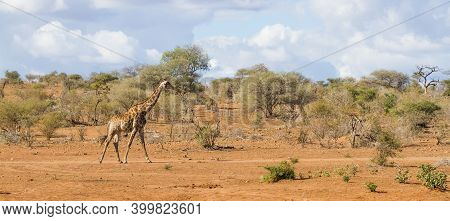 Panorama View Of Solitary Adult Giraffe Walking Alone In The Sandy Bushveld In Kruger National Park,
