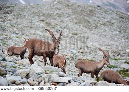 Image Of Group Of Alpine Goats Captured In Wild Nature. Herd Of Ibexes On Rocky Background. Alpine M