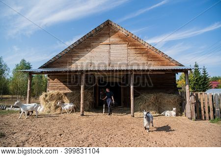 A Stable Girl Leads A Horse Out Of The Stable, And The Goats Scatter In Different Directions.