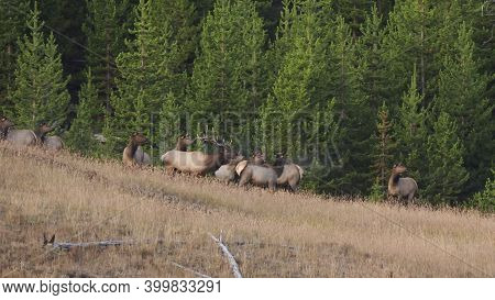 Early Autumn Shot Of An Elk Bull Bugling At Yellowstone