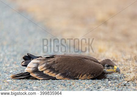 Close Up Of Nestling Or Young Steppe Eagle Or Aquila On A Ground.