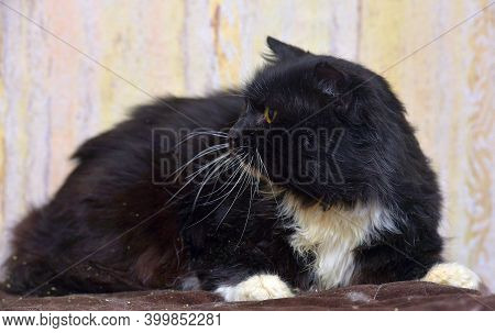 Furry Black And White Furry Cat