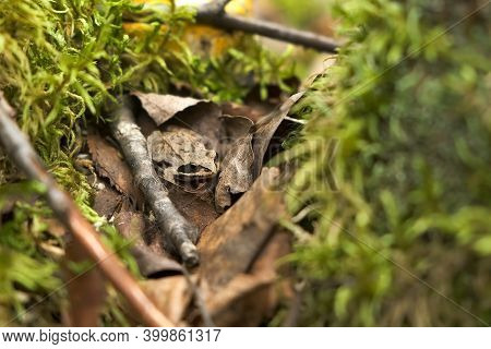 Little Frog Is Sitting On Dry Leaves Among Moss In Forest, Closeup View. Hiding Among The Grass And