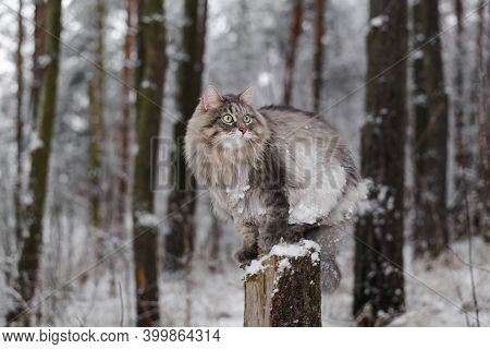 Fluffy Cat Sitting On A Tree Stump, Winter Snowy Forest. Portrait Of A Gray Cat With Green Eyes Look
