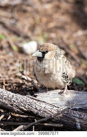 Small Bird Sociable Weaver (philetairus Socius)at Kalahari Transfontier Park, South Africa