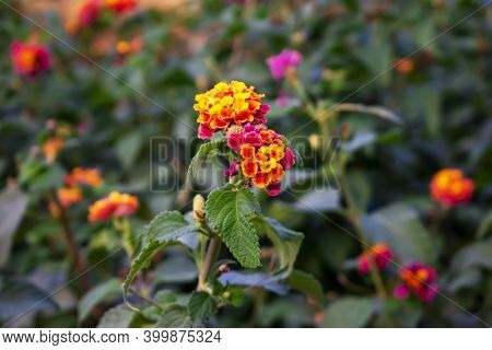 Multicolor Inflorescence Of Lantana Camara Plant Close-up On A Green Blurred Background. Red-orange-
