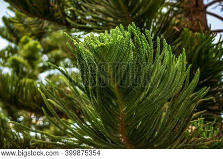 Branch With Decorative Huge Needles Of Araucaria Heterophylla Close-up. Natural Floral Background Of