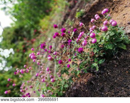 Globe Amaranth Or Gomphrena Globosa In Garden