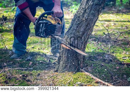 The Pine Tree Starts To Fall While Cutting With A Chainsaw. Cutting Down Trees, Forest Destruction.
