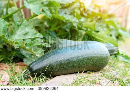 Green Squash On Garden In Vegetable Field. Harvest Vegetables On An Organic Farm