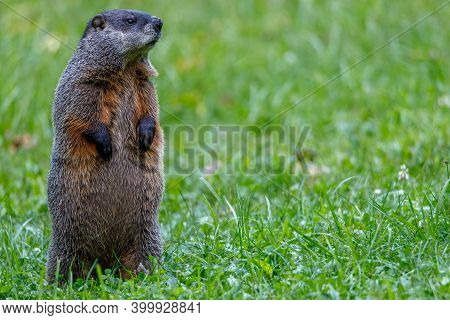Groundhog (marmota Monax), Also Known As A Woodchuck, Standing And Looking For Danger During Summer.