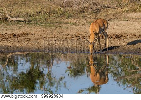 Adult Male Impala (aepyceros Melampus) Drinking From A Waterhole With Reflection In Kruger National