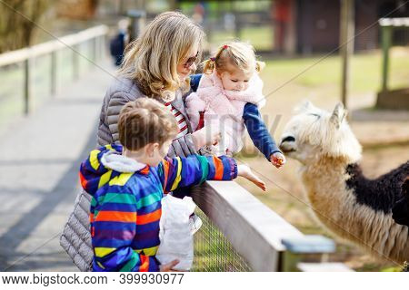 Cute Toddler Girl, Little School Kid Boy And Young Mother Feeding Lama And Alpaca On A Kids Farm. Tw