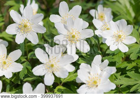 Close Up Of Wood Anemone (anemone Nemorosa) Flowers In Bloom