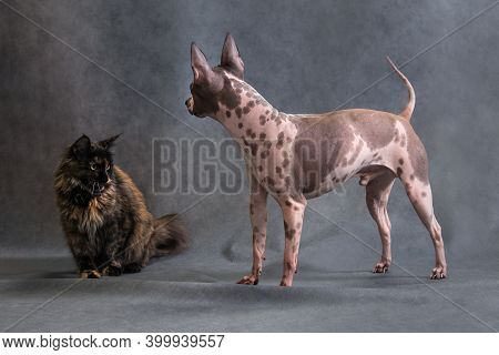 Tortoiseshell Maine Coon Cat And American Spotted Hairless Terrier Dog Making Friends, Getting To Kn