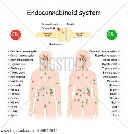 Endocannabinoid System. Cb1 And Cb2 Receptors. Central Regulatory System That Affects Of Biological