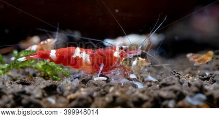 Red Wine Dwarf Shrimp Look For Food On Aquatic Soil With Other Aquarium Shrimp In Fresh Water Aquari