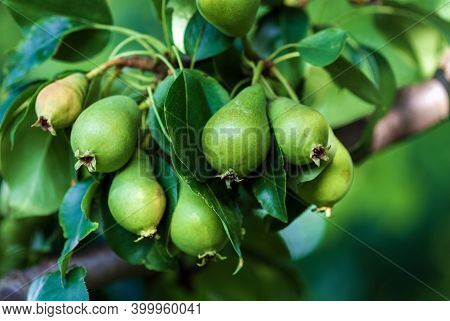 Small Unripe Green Pear Fruits (pyrus Communis L.) In Summer Orchard, Closeup