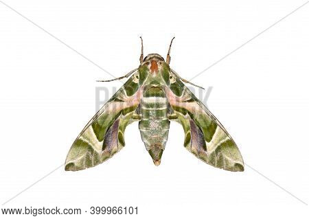 Macro Photography Of Oleander Hawk-moth Or Army Green Moth Isolated On White Background With Clippin