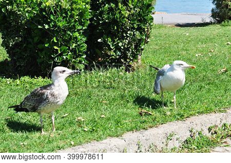 Two Seagulls On A Green Lawn. Seagulls On The Green Grass Of The Square.