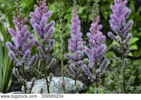 Field Pink And Lilac Flowers Astilbe Chinensis