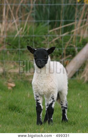 new born black and white lamb standing in a field in spring. poster