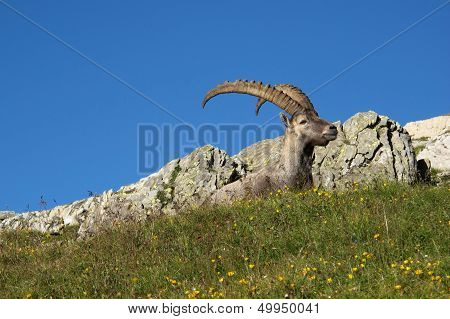 Cute alpine ibex having a rest on a meadow with wildflowers. poster