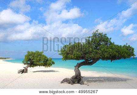Divi Dive Trees on the shoreline of Eagle Beach in Aruba