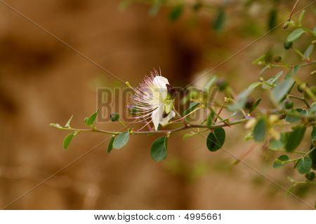 Acacia Plant En Gedi